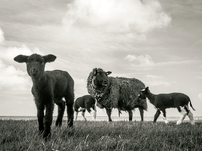 sheeps high