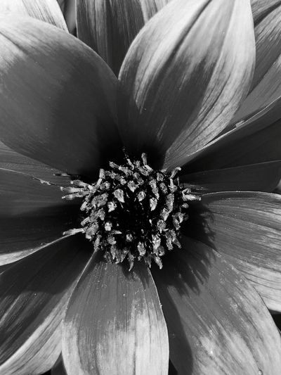 Close up flower Beauty In Nature The Week On EyeEm Close-up No People EyeEm Selects Flower Flower Head Macro Beauty Blackandwhite Photography Black & White