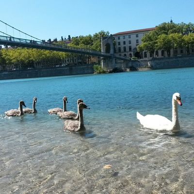 Swans Water Hello World Taking Photos Annimals
