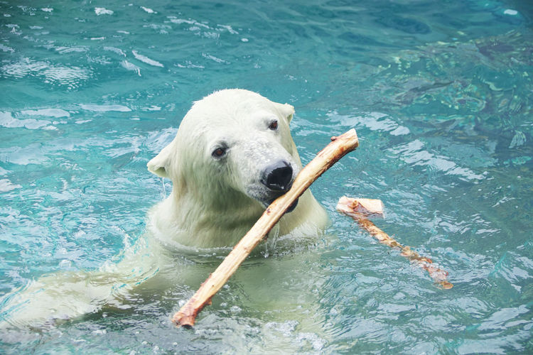 High Angle View Of Polar Bear Carrying Stick In Mouth