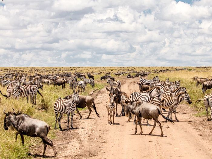 View of zebra on country road