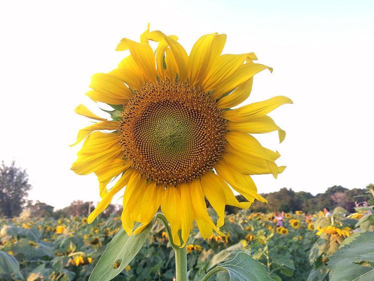 เจ้าไม้ขีดไฟ ก้านน้อยเดียวดาย แอบรักดอกทานตะวัน แรกแย้มยามบาน อวดแสงตะวัน ช่างงดงามเกินจะเอ่ย 🌻 Flowers Sunflower Yellow Flower