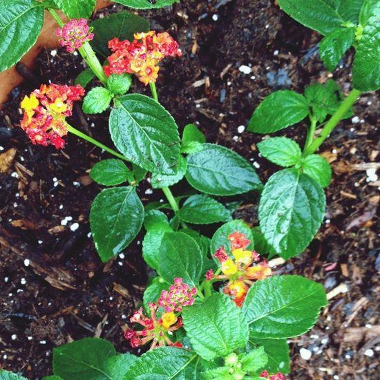 Lantana Flowers,Plants & Garden streamzooville