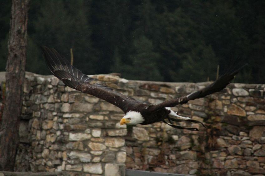 Bird Of Prey Bird Spread Wings Flying Vulture Bald Eagle Owl Eagle - Bird Branch Mid-air Eagle