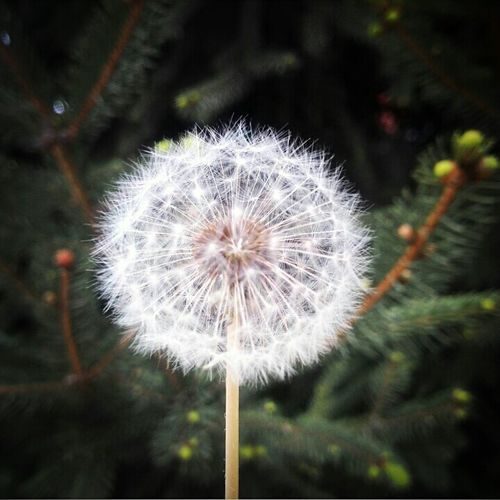 Dandelion Nature