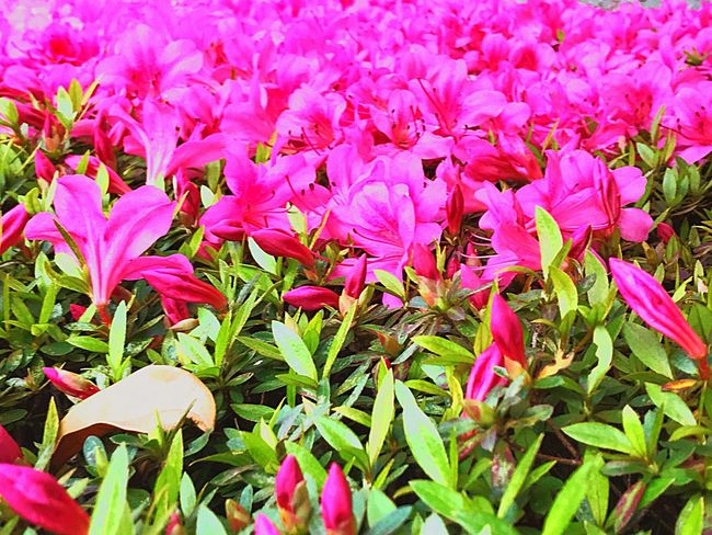 The Frontline Pink Color Growth Plant Flowering Plant Flower Beauty In Nature Freshness