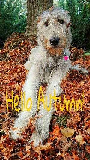 Dog Animal Themes Outdoors Creativity Cearnaigh Eyes Are Soul Reflection Dogslife Dog Of The Day Irish Wolfhound Dogwalk How Is The Weather Today Dog Of My Life September 2016 Showcase September Autumn Is Coming Tranquil Scene Leaves 🍁 Autumn Is Here 🍂🍁 Autumn 2016 Deep In The Woods Autumn Leaves Season