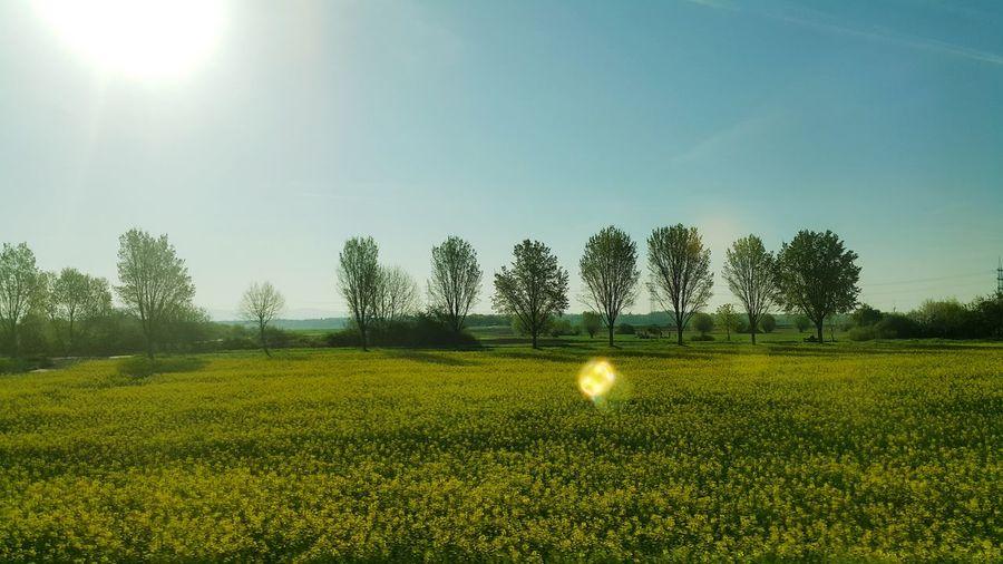 Tree Sunlight Rural Scene Field Golf Sky Sunbeam Countryside Agricultural Field Cultivated Land Farmland Sun Oilseed Rape Crop  Lens Flare