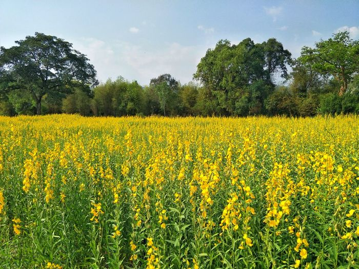 Scenic view of yellow flower field against sky