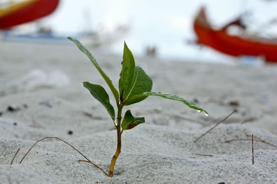 Beauty In Nature Close-up Day Focus On Foreground Freshness Green Color Growing Tree Growth Leaf Nature No People Outdoors Plant Red Resilience  Small Tree On The Beach Social Issues