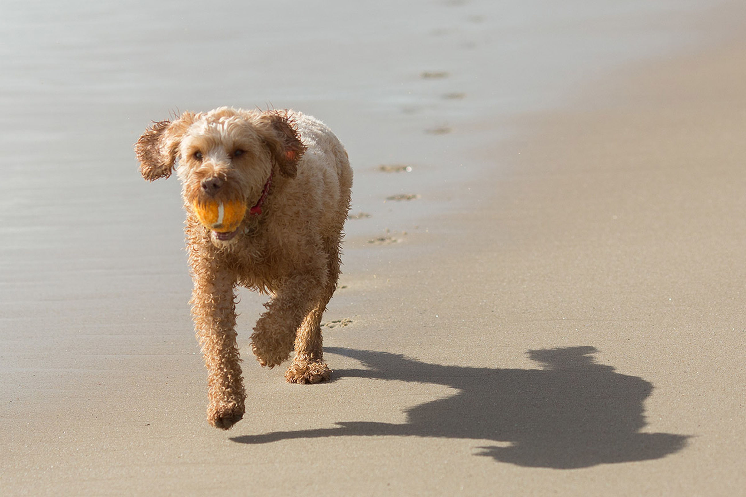 animal themes, one animal, dog, pets, domestic animals, mammal, beach, full length, sand, standing, walking, looking away, shore, outdoors, day, high angle view, nature, water, no people, portrait