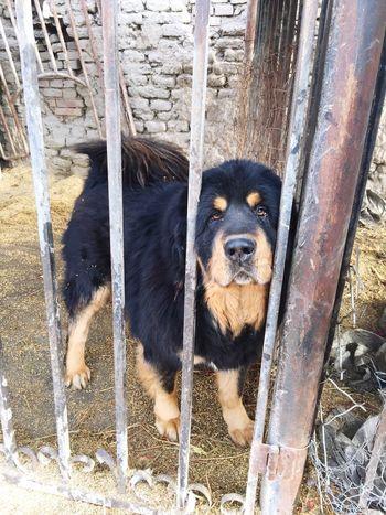 2015 XJ Animals Tibetan Mastiff Tender Dog
