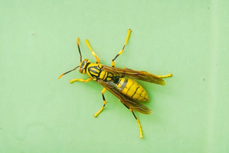黃長腳蜂 Insect
