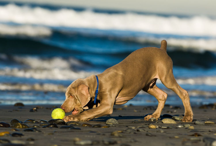 Weimaraner puppy dog playing with ball at beach Puppy Canine Dog One Animal Animal Themes Animal Domestic Animals Pets Domestic Sea Land Beach No People Weimaraner Day Water Playing Balcony Cute