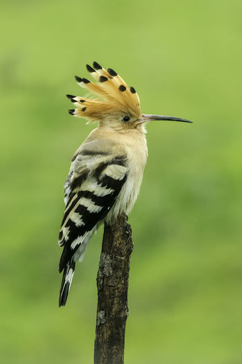 Upupa Epops Animal Animal Themes Animal Wildlife Animals In The Wild Beauty In Nature Bird Close-up Day Focus On Foreground Hoopoe Bird Nature No People One Animal Outdoors Perching Plant Tree Tree Trunk Vertebrate Woodpecker Yellow