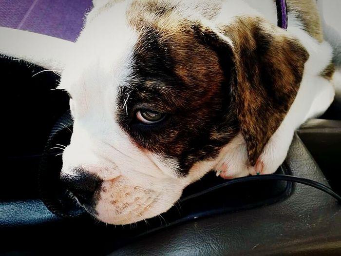 Olde English Bulldogge pup. Such sad puppy eyes Oldeenglishbulldogges Puppy Eyes Brindle Ohio, USA