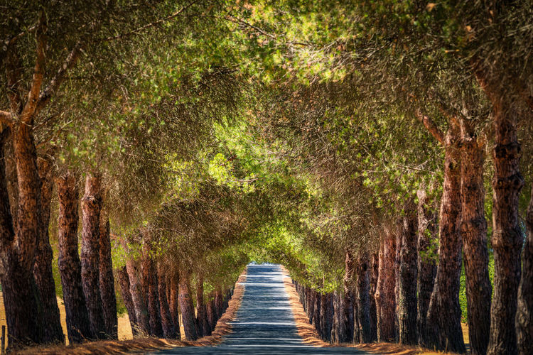 Tree Tunnel at Évora, Portugal Travel Alentejo Beauty In Nature Day Diminishing Perspective Direction Footpath Forest Growth Land Nature No People Outdoors Plant Road The Way Forward Tranquility Tree Tree Trunk Treelined Trunk Tunnel Wood - Material WoodLand Évora