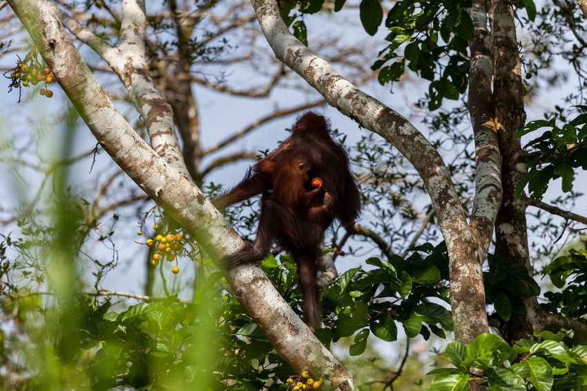 Animals In The Wild Orang Utan Borneo Sabah Borneo Kinabatangan River Endangered Species Primates Fig Tree Baby Animals Malaysia Eos5d Canon EyeEmNewHere