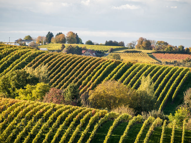 Vineyards Vineyard Cultivation Vineyards In Autumn Vine - Plant Vineyard Hills Stromberg Germany Trinking Vine Leaves Agriculture South Facing Slope Grapes Fruit Vine Row Winemaking Hillside View