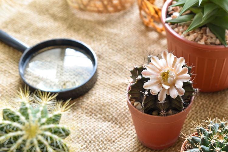 Hobby cactus