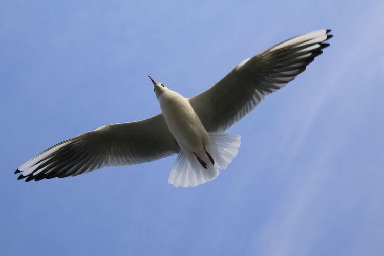 Animal Themes Animals In The Wild Beak Bird Blackcap Blackheaded Gull Blue Flight Flying Low Angle View No People Sky Spread Wings