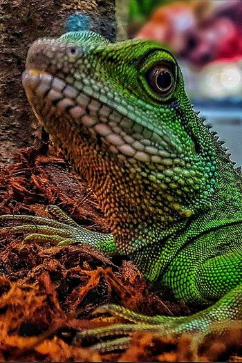 Lizard Reptile Animal Animal Themes Animal Wildlife One Animal Animals In The Wild Green Color Animal Body Part Nature Animal Head  Focus On Foreground Portrait Macro Macro Photography Selective Focus Iguana