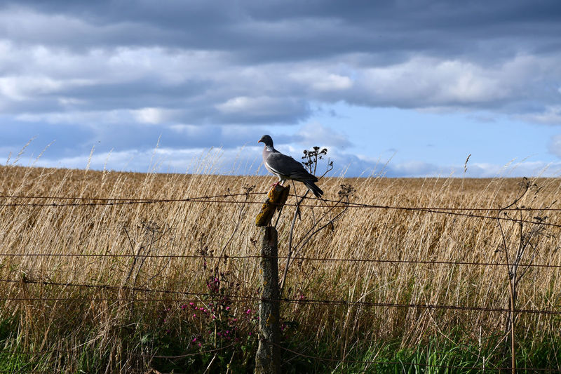 Aberdeenshire Scotland Animal Animal Themes Animal Wildlife Barrier Bird Boundary Cloud - Sky Fence Field Grass No People One Animal Perching Pigeon Sky
