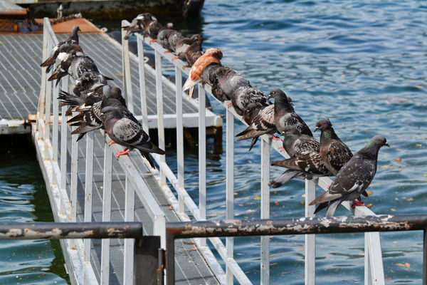 Group of pigeons near the lake - Como, Lombardy, Italy. Como Como Lake Italia Lario Lombardy Animal Animal Themes Animal Wildlife Animals Animals In The Wild Bird Birds Group Of Animals Italy Lake Lombardia Nature No People Outdoors Pigeon Pigeons Vertebrate Water