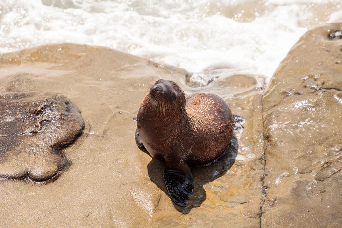 Young California sea lion Zalophus californianus pups playing on the rocks of La Jolla Cove in Southern California Baby California Coastline Coastline Landscape Sea Lion Sea Lion Pup Zalophus Californianus California Sea Lion La Jolla La Jolla Cove Ocean Pup Sea Lion Natural Habitat Wild Life Wildlife