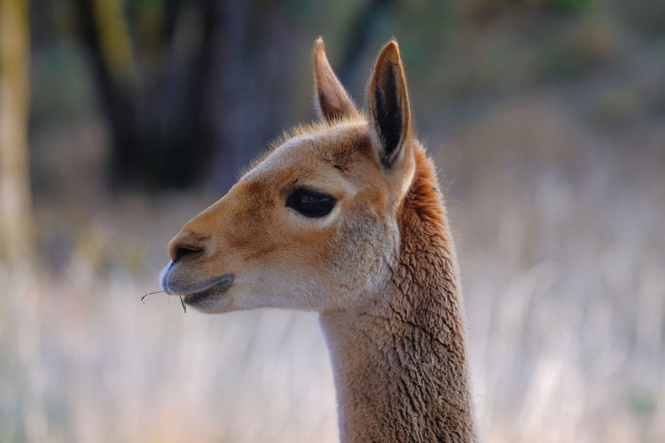 Close-up of a vicuna looking away
