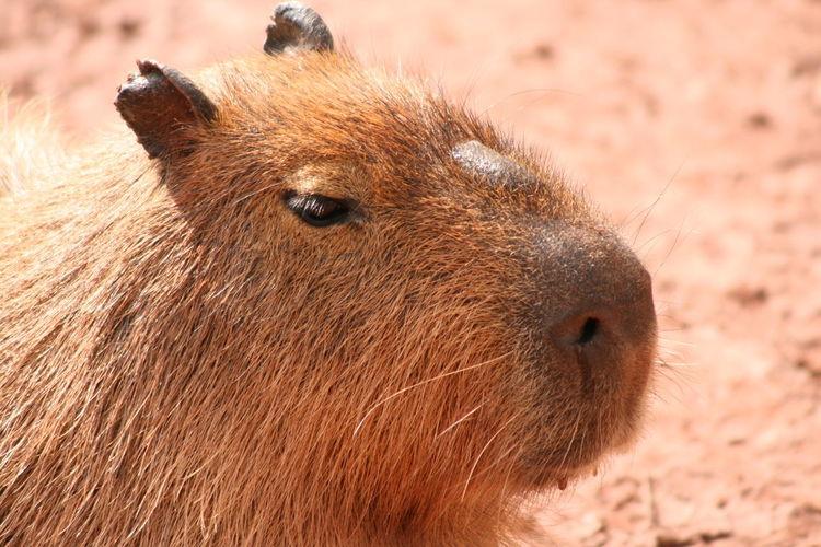 Close-up of capybara on ground