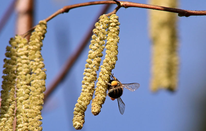 Close-up of bee on catkin