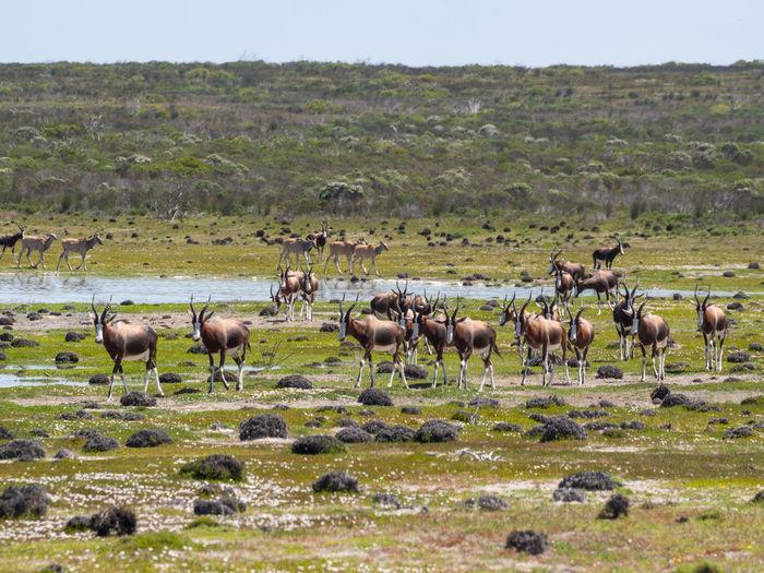 Group of bontebok antelopes at de hoop nature reserve, south africa