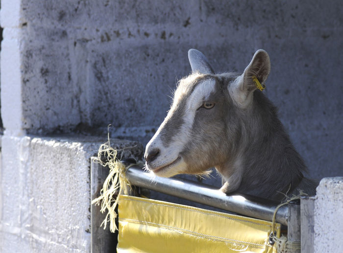 Nosey Goat Farm Farm Animal Goat Mammal No People One Animal Outdoors Side View
