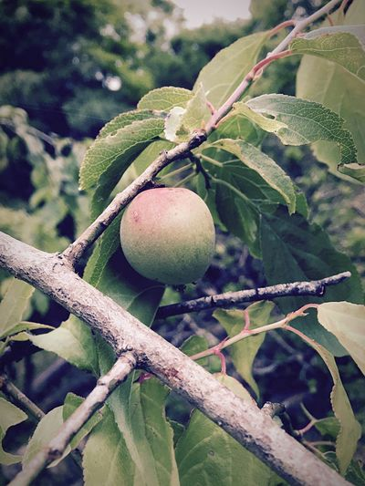 Plum IPhoneography Enjoying Life Countryside Japan Nature 梅 里山 田舎暮らし 自然