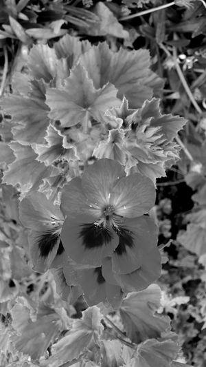 Geranium Greyscale Photography Flower Head Flower Petal Close-up Plant Plant Life