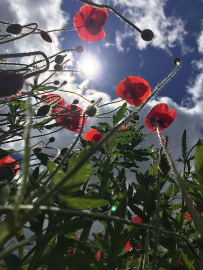 Low angle view of poppies against trees