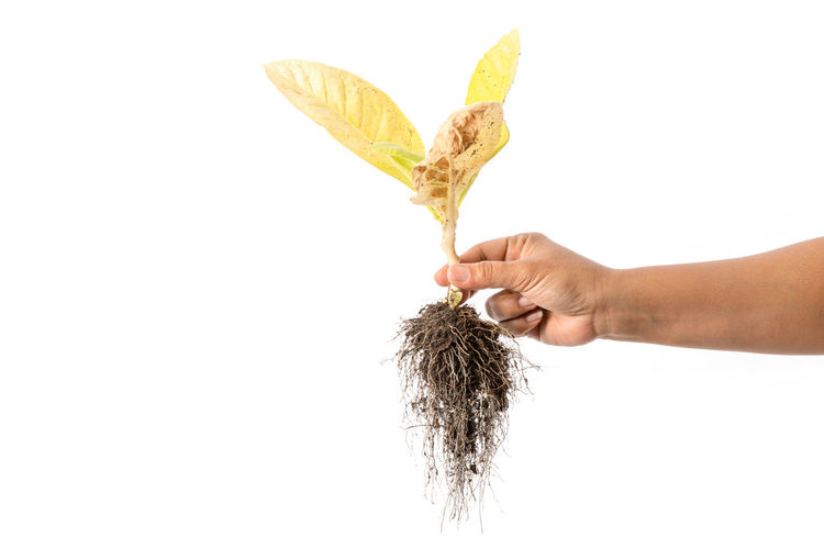Midsection of person holding plant against white background