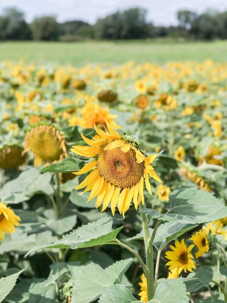 Field of sunflowers Eye Em Nature Lover EyeEm Best Shots - Nature Eyem Nature Lovers  Flower Yellow Fragility Growth Nature Plant Petal Beauty In Nature Flower Head Freshness Focus On Foreground Outdoors Day No People Close-up Blooming Sky Sunflower Field