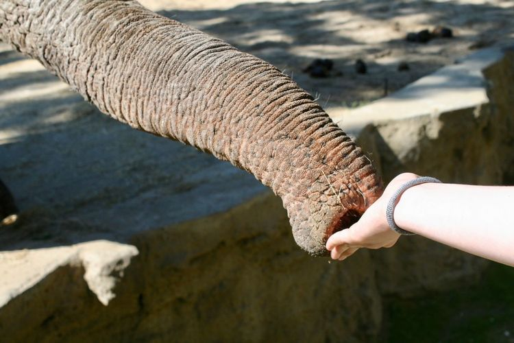 Meeting Elephent Meetings Human Hand Hand Human Body Part One Person Real People Day Nature Sunlight One Animal
