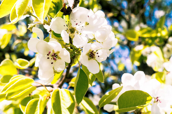 Beauty In Nature Blooming Blossom Branch Close-up Day Flower Flower Head Focus On Foreground Fragility Freshness Growth Leaf Nature No People Outdoors Petal Plant Springtime Sunlight Tree White Color Summer Exploratorium