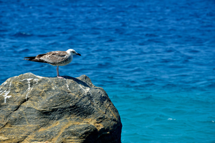 seagull on a rock formation seafront Animal Animals In The Wild Bird Animal Themes Animal Wildlife Vertebrate Rock Water One Animal Rock - Object Sea Perching No People Day Nature Side View Focus On Foreground Blue Outdoors Seagull Seafront Mykonos,Greece