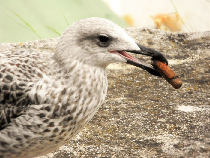Animal Themes Animals In The Wild Bird Cigar Close-up Feather  Focus On Foreground Nature No People One Animal Outdoors Seagull Smooking Wildlife