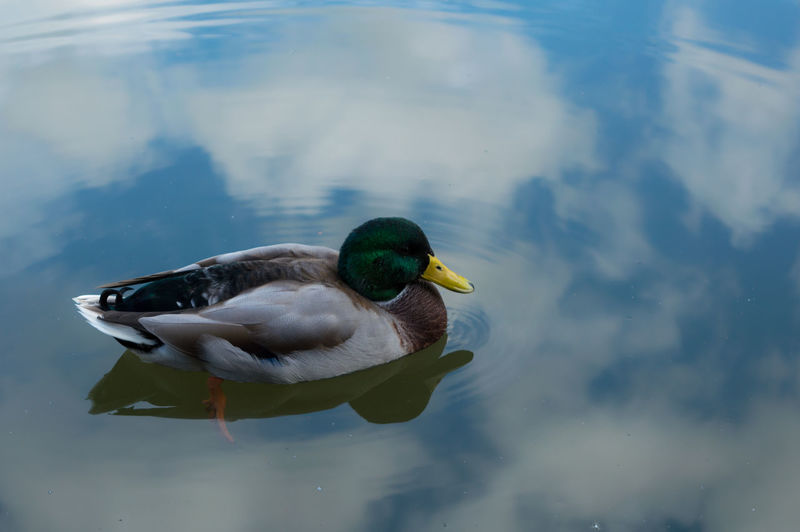 Duck on calm lake