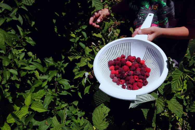 Midsection Of Woman Harvesting Raspberries In Back Yard