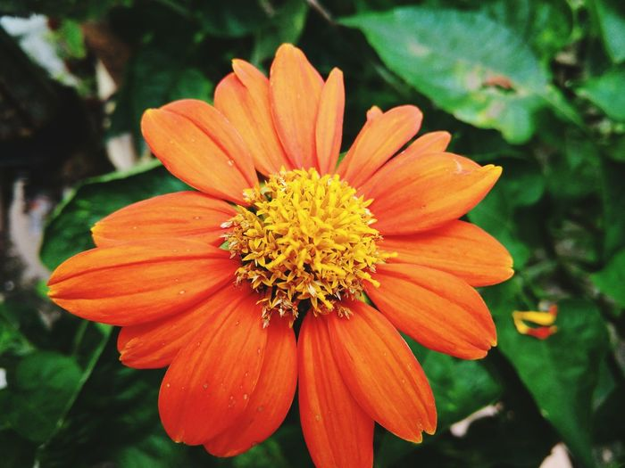 Flower Plant Nature Orange Color Beauty In Nature Close-up NTB Lombok Island DELTA API Rumahalir