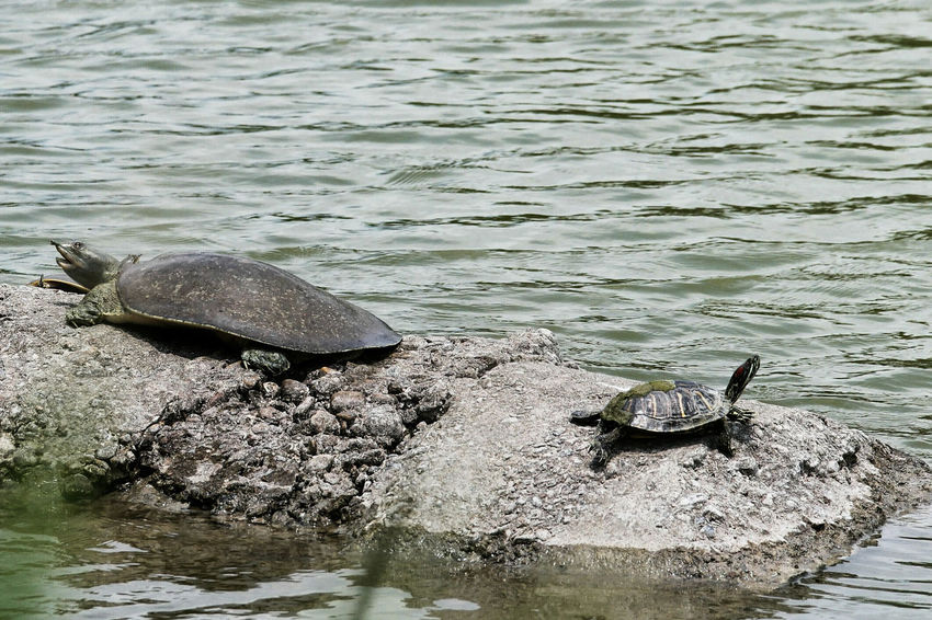 Dry up to Get Wet Again. Turtle Turtles Turtle Love Turtle 🐢 TurtlePower Turtles In The Sun Sunbathing Nature Nature_collection Nature Photography Nature On Your Doorstep Pond Stat Llano Grande Relaxing Soft Shell Turtle Sliders NX1 Still Life Gods Creation Testudines Green Green Green!  Green