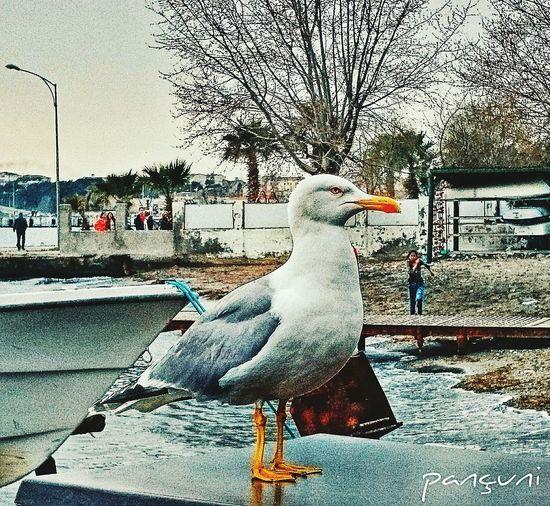Martı Sinop Sinope Pançuni Sagulla Sagull Pizeria Hi! Photography People Of EyeEm