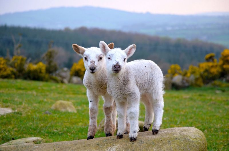 Lambs Standing On Rock Against Grassy Field