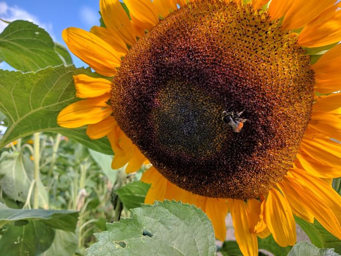 sunflower Sunflower And Bee Sonnenblume Sonnenblumenfelder Flower Head Flower Yellow Sunflower Leaf Petal Close-up Plant Animal Themes Symbiotic Relationship Honey Bee Bee In Bloom Pollen Insect